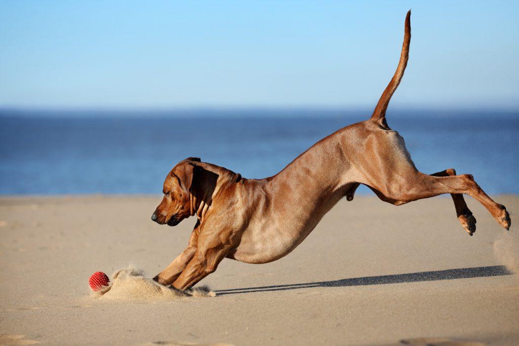 Rhodesian Ridgeback hond